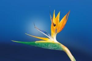 Zvláště citlivé květiny bývají často velmi krásné a jedinečné. Péče, která zajistí, že vyrostou do plné velikosti, ale není snadná, shrnuje své dlouholeté poznatky americký psychiatr Thomas Boyce.  Foto: Pixabay